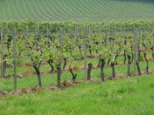 Vines, vines, vines